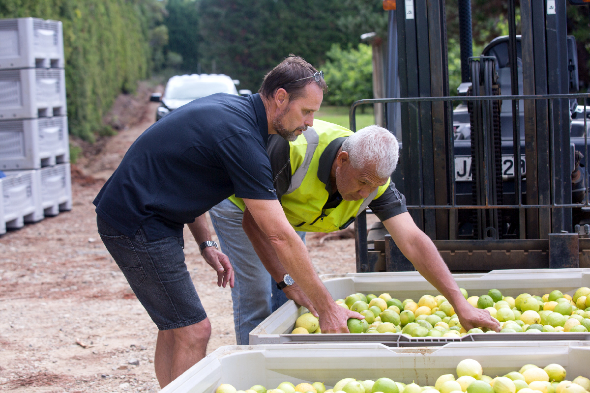 Pieter inspects fresh harvest with foreman Dave Latu