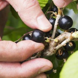 Kiwi Blackcurrants in the News